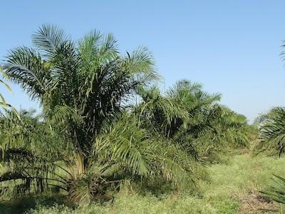 Palmový olej - vliv na naše zdraví a dopad na světovou ekologii