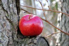 Jablko - poklad našeho podnebného pásma