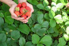 Červeným ovocem a zeleninou proti rakovině?